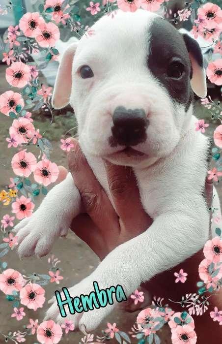 <strong>cachorro</strong>s Pitbull Negoc. 0967149317 Wats