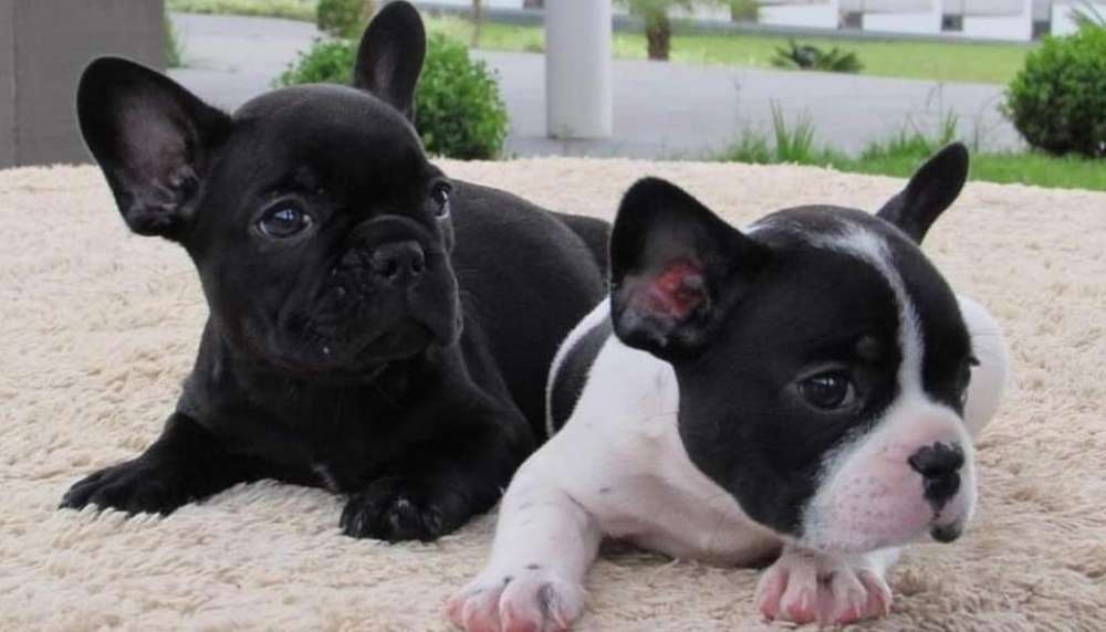 Bulldog Francés Listos para Entregar