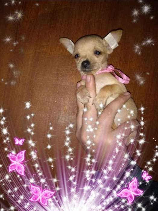 Chihuahuas Mini de Bolsillo M7000h9000