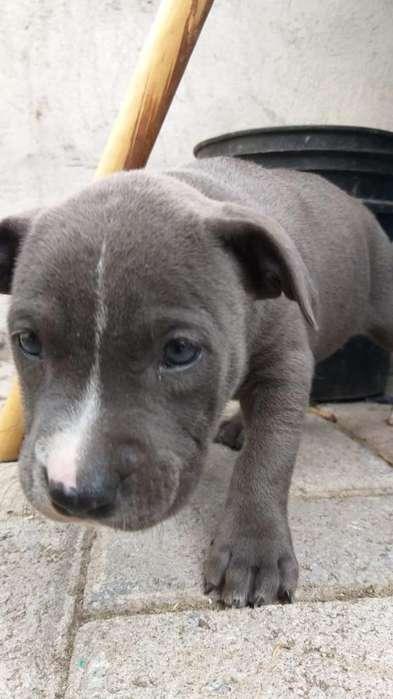 Pitbull Blue Nose Ojos Azules