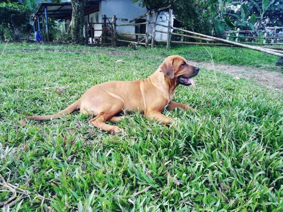 Venta Cachorra Fila Brasilero
