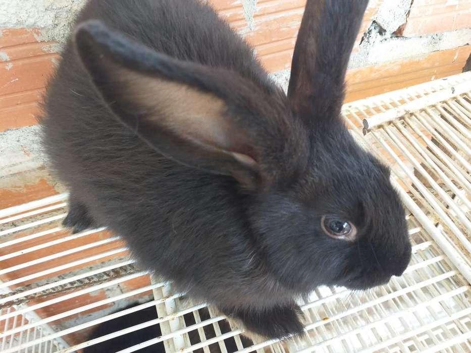 Conejo Raza Gigante Flandes