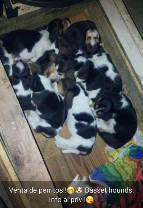 Perrs de raza Basset hounds