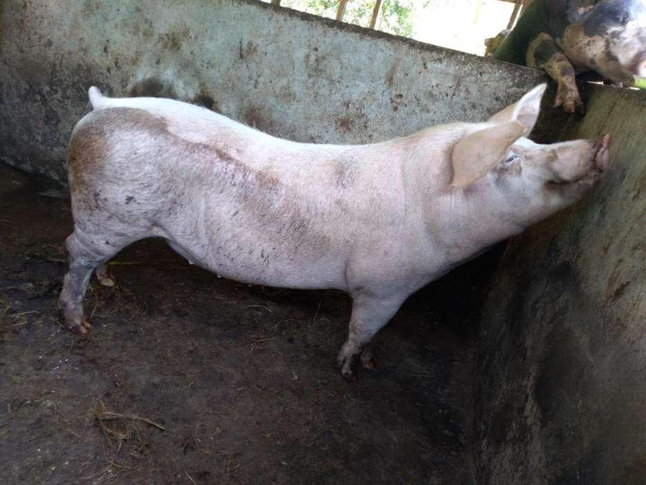Cerdos de 140lb para Faenar