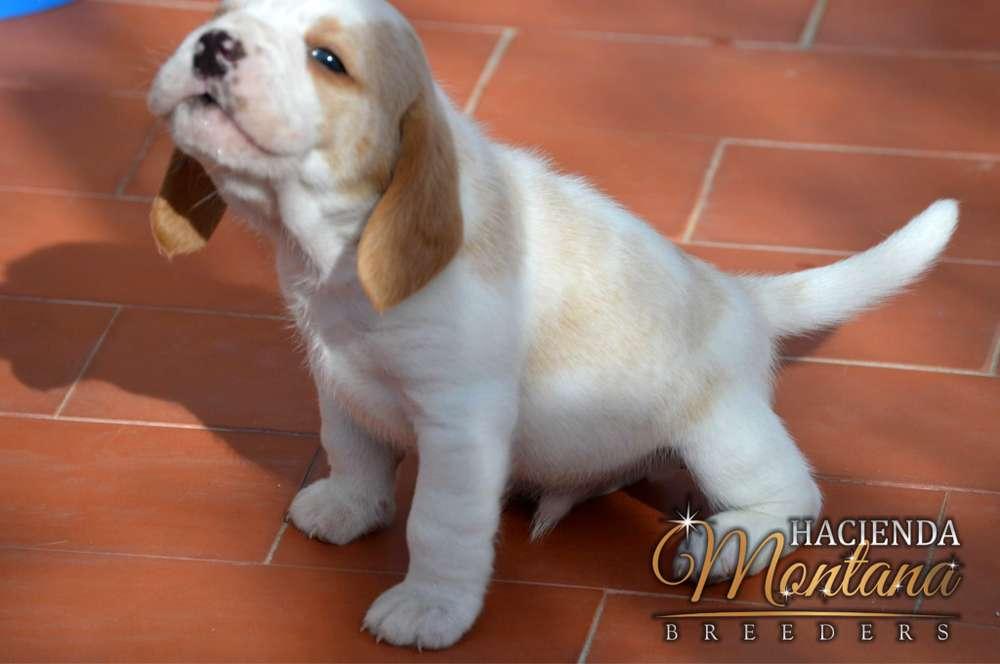 VENTA DE CACHORROS <strong>beagle</strong> LIMÓN EN PASTO
