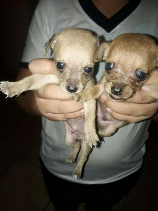 Lindos Chihuahuas D Ven.llam 0997296041
