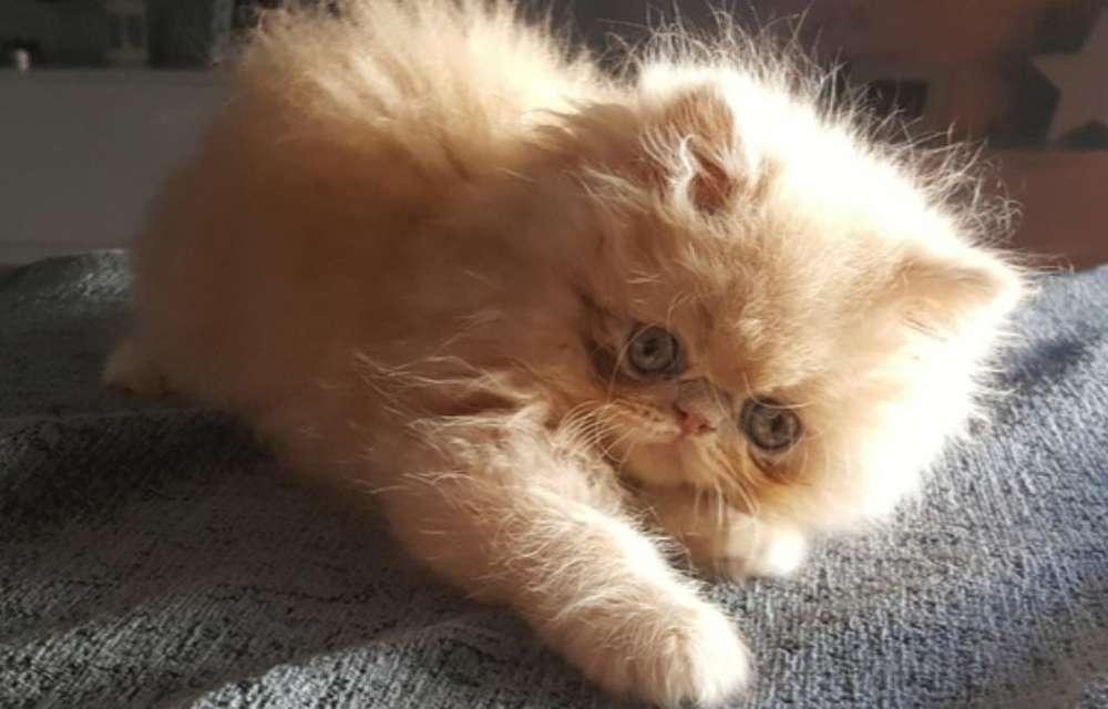 Adorables Ejemplares Gatos Persas