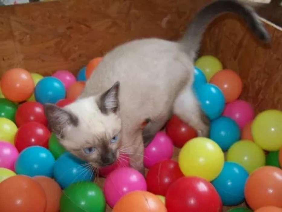 Hermosos <strong>gato</strong>s Siames