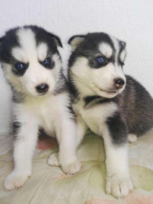 autenticos <strong>cachorro</strong>s husky pureza total