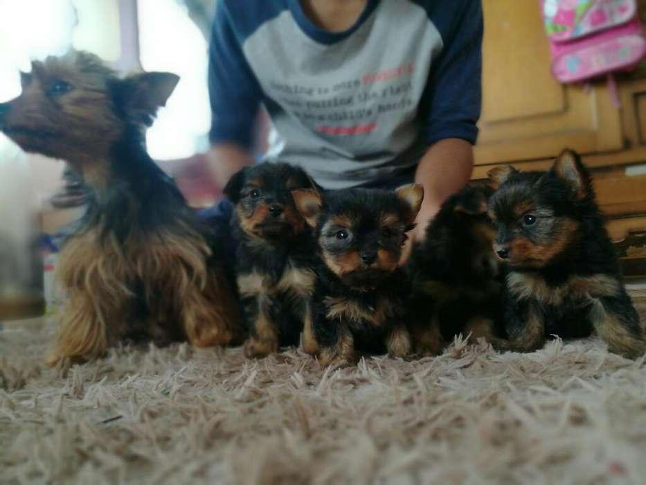 Perritos Yorkshire Terrier