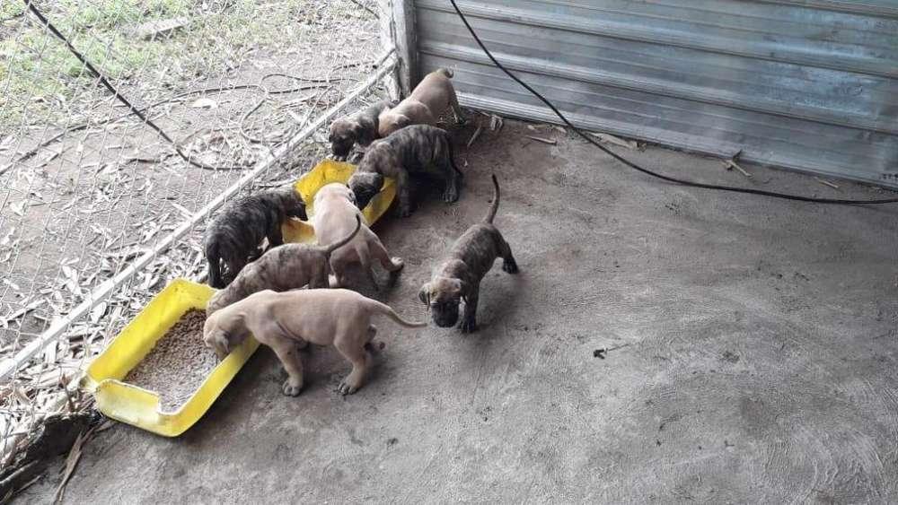 Fila brasilero cachorritas