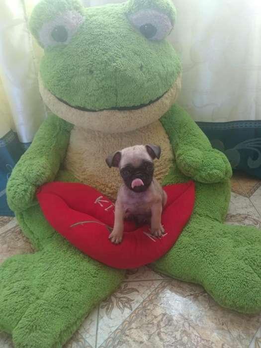 Vendo Cachorrito Pug