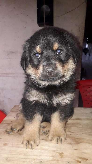 Vendo Hermos <strong>cachorro</strong>s Rotwailer 45 Dias