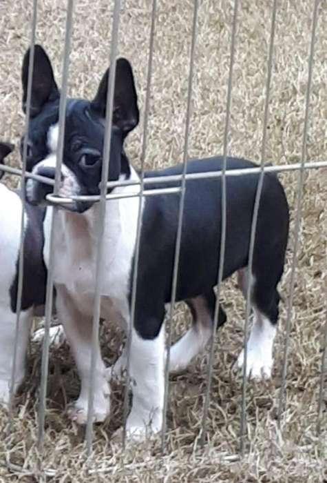 Boston Terrier Mac Y Hem con Fca