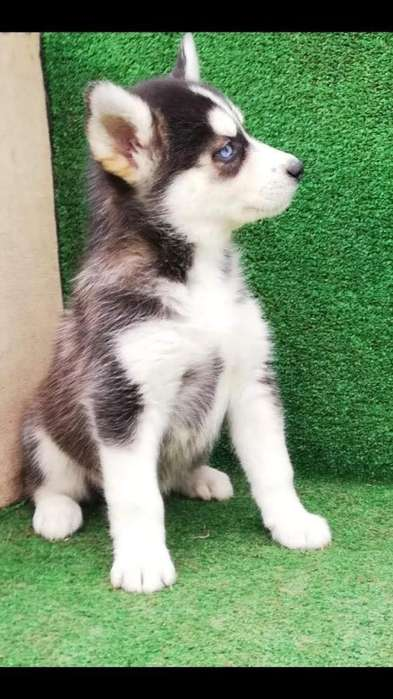 <strong>perrito</strong>s Huskys Siberianos Disponibles