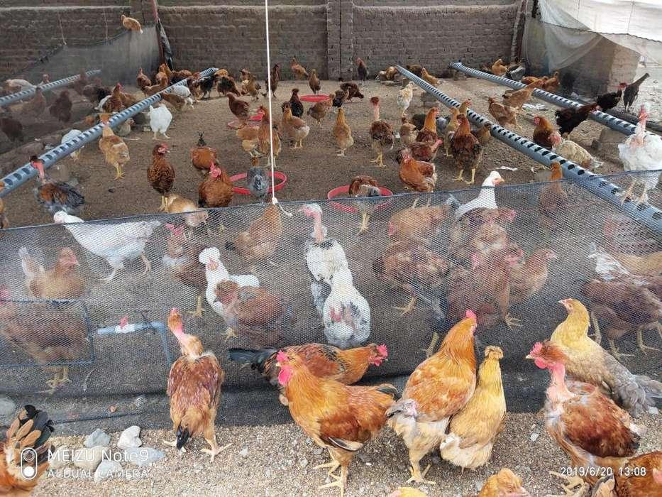 Gallinas y gallos criollos de corral