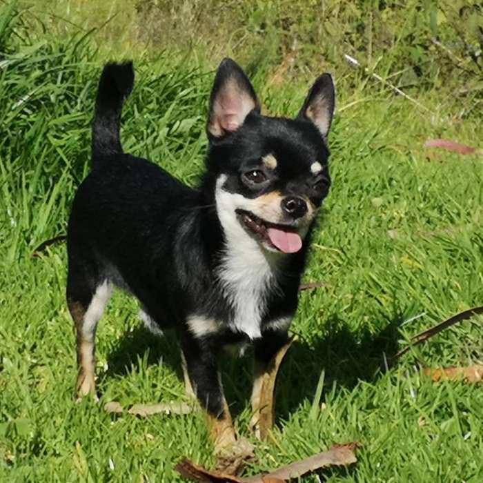 <strong>chihuahua</strong> Reproductor