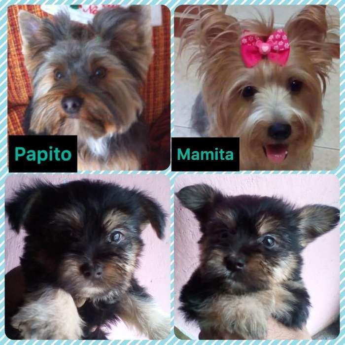 Hermoso Yorky <strong>terrier</strong>