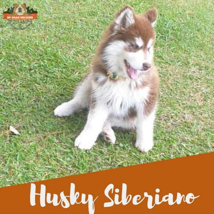 Husky Siberiano Manto Rojo Cachorros