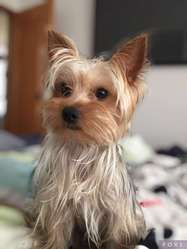 vendo hermosa yorkshire terrier mini color plata