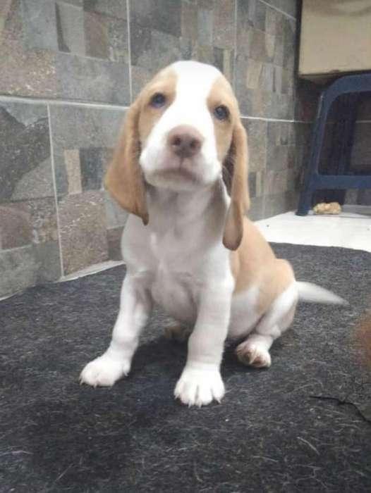 Se Vende Cachorros <strong>beagle</strong> Limón