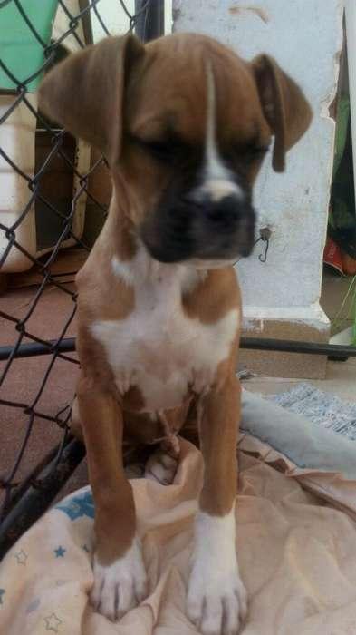 Hermoso Cachorro <strong>boxer</strong>