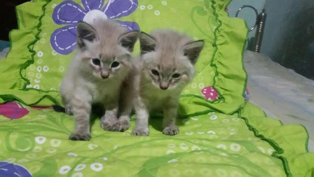 Vendo Hermosos Gatitos Siamés Atigrados
