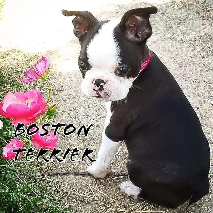 Cachorro Boston <strong>terrier</strong>