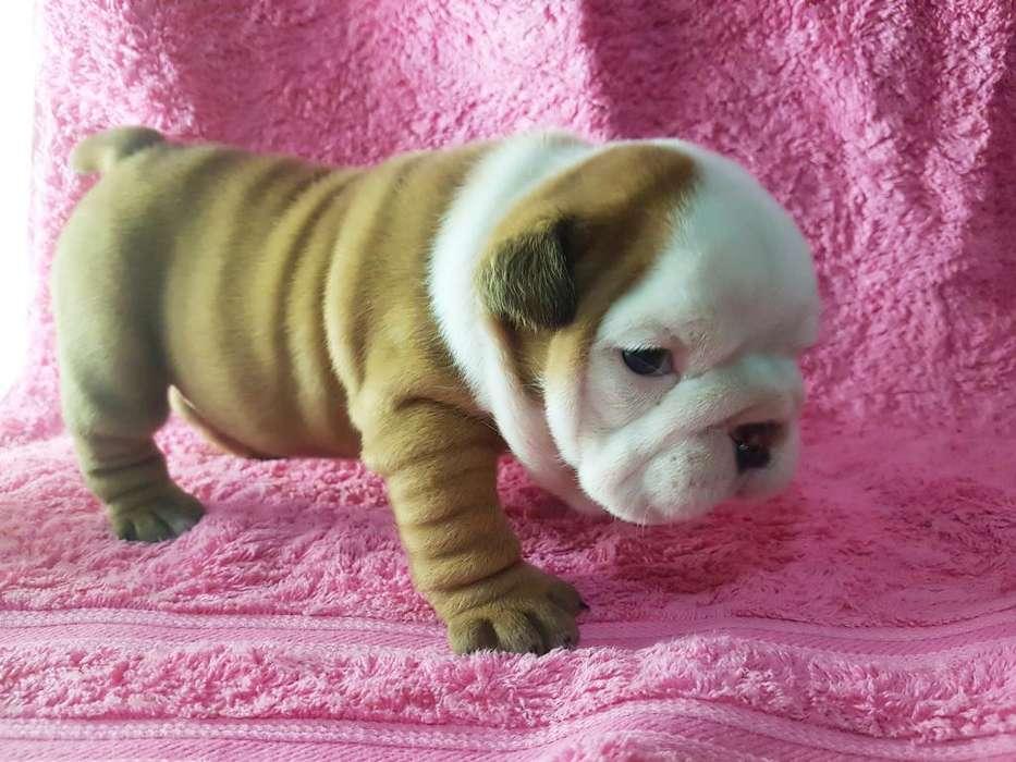 Bulldog Ingles. Papeles Fca -chip