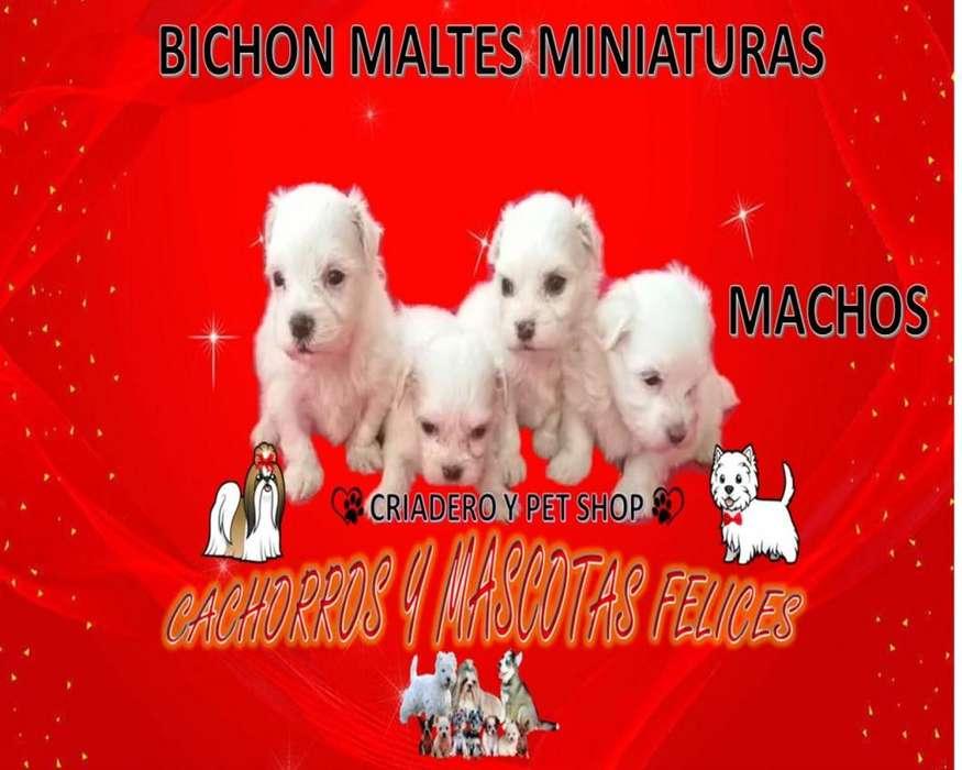 VENDE CRIADERO CACHORROS BICHON MALTÉS MINIATURAS HEMBRAS Y MACHOS, ENVIÓ PARA TODO EL PAÍS