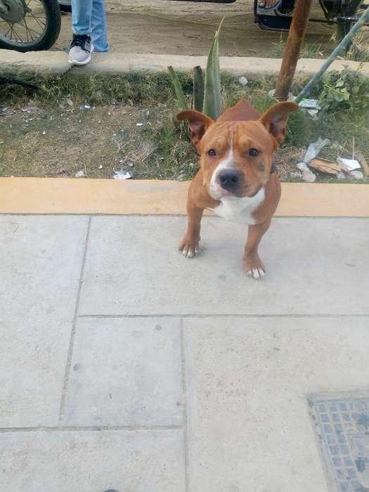 Cachorro 50 Dias No Pitbul Fusion Bully