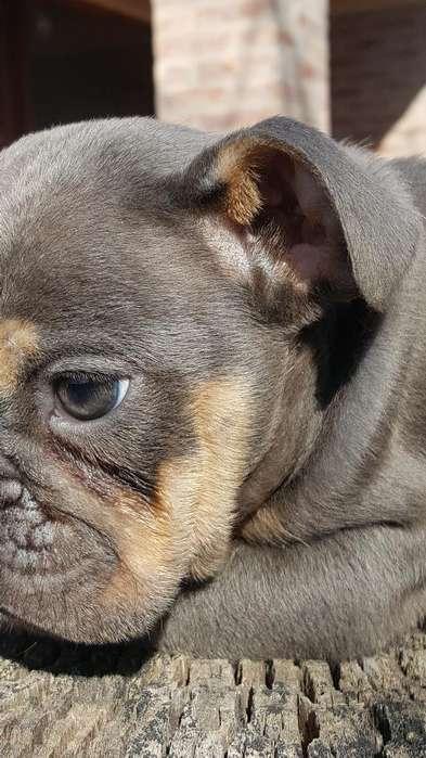Bulldog Inglés Color Blue Tan