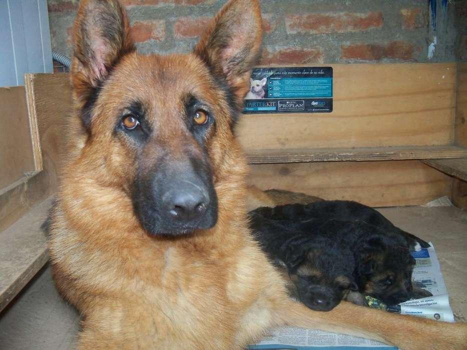 Vendo últimos <strong>cachorro</strong>s Ovejero Aleman.