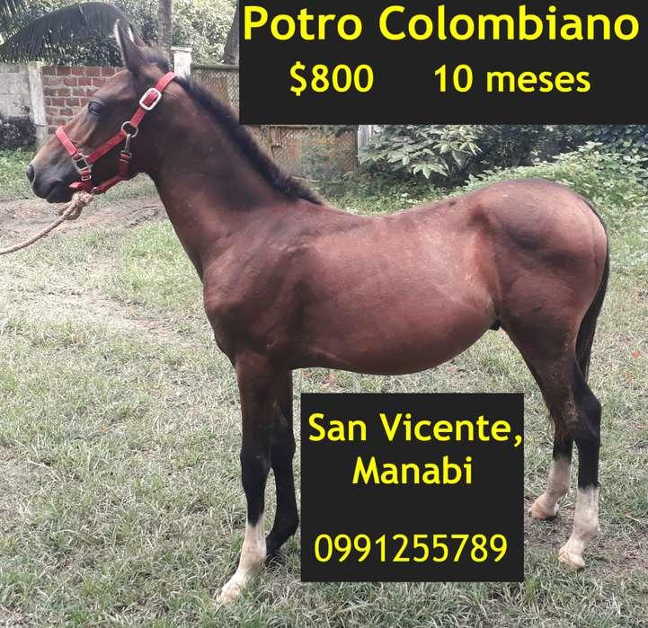 Potro colombiano <strong>caballo</strong> san vicente, manabi
