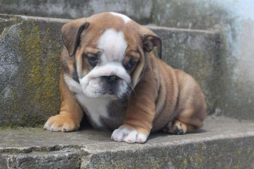 <strong>bulldog</strong> Ingles Y American Bully
