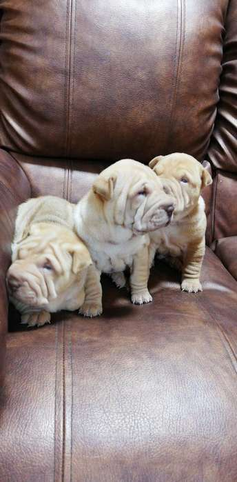 Vendo Cachorritos Sharpei