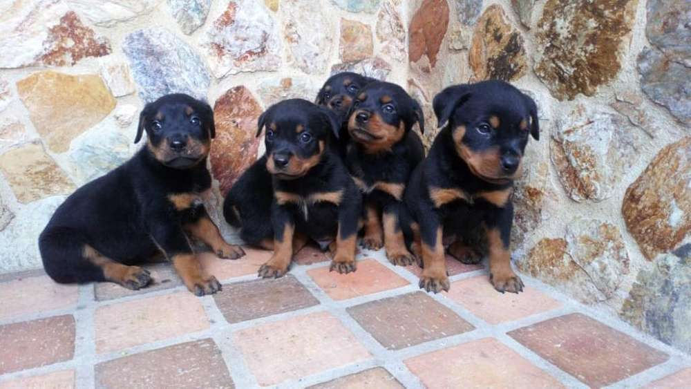 <strong>rottweiler</strong> Disponibles