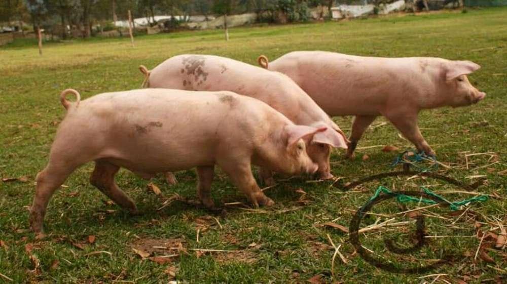 Cerdos en Pie de Cria Excelente Genetica