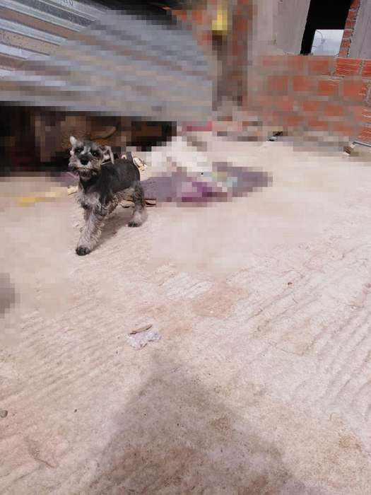 Vendo Cachorro Shanauger