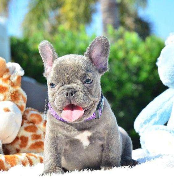 *ENCANTADORES <strong>bulldog</strong> FRANCES BLUE*