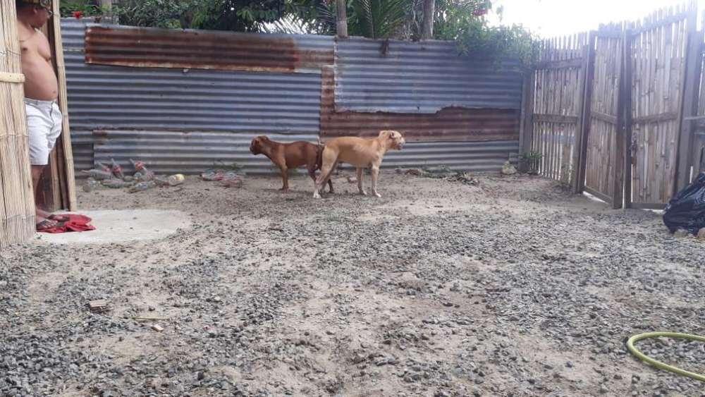 Pitbull Red No Se <strong>cachorro</strong>s a La Venta