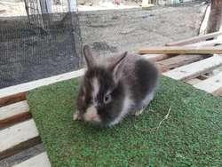Conejos Cabeza de León