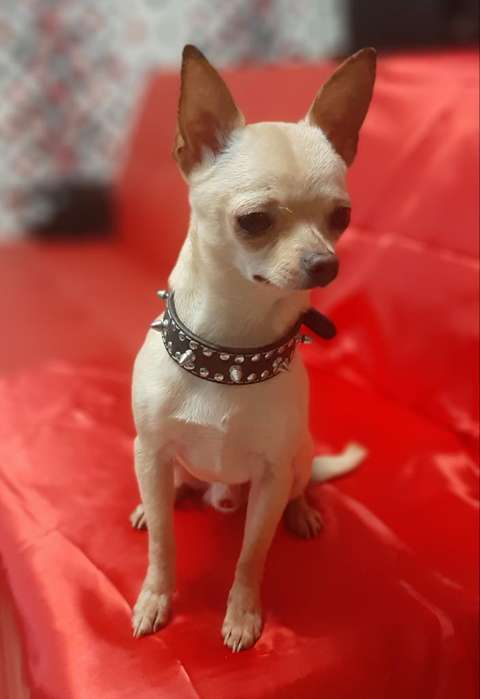 Chihuahua Miniatura Cabeza de Manzana