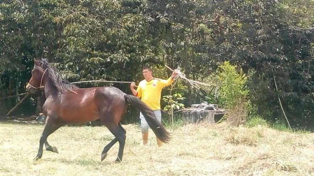 <strong>caballo</strong> 4 AÑOS PASO FINO - WHATSAAP 3155738076