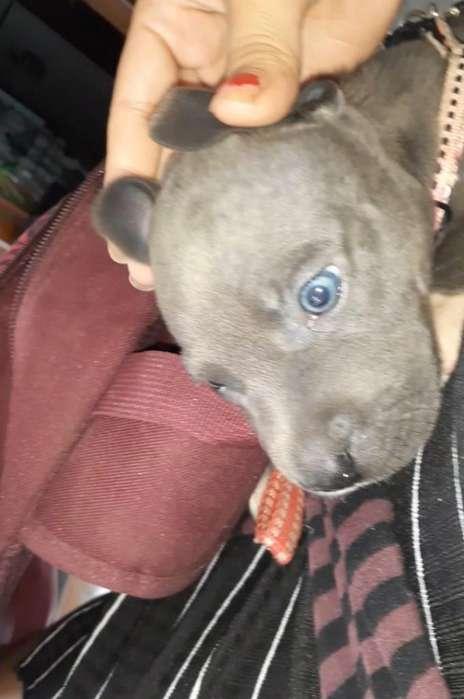 Hermosa Pitbull Blue