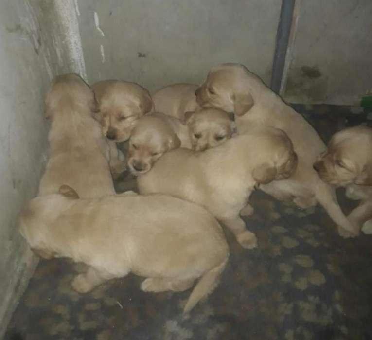 Cachorros Golden Retriever en Pasto