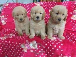 Royal golden retriever canin