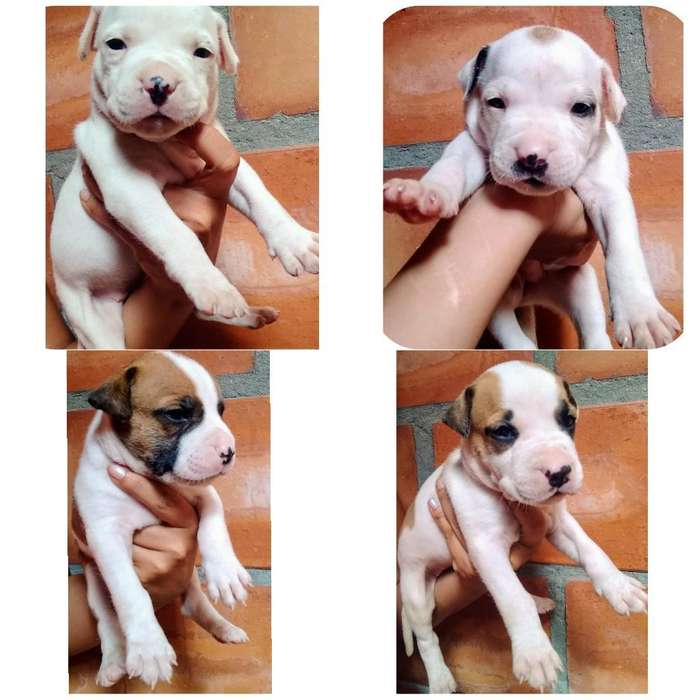 Perros <strong>cachorro</strong>s American Pitbull Terrie