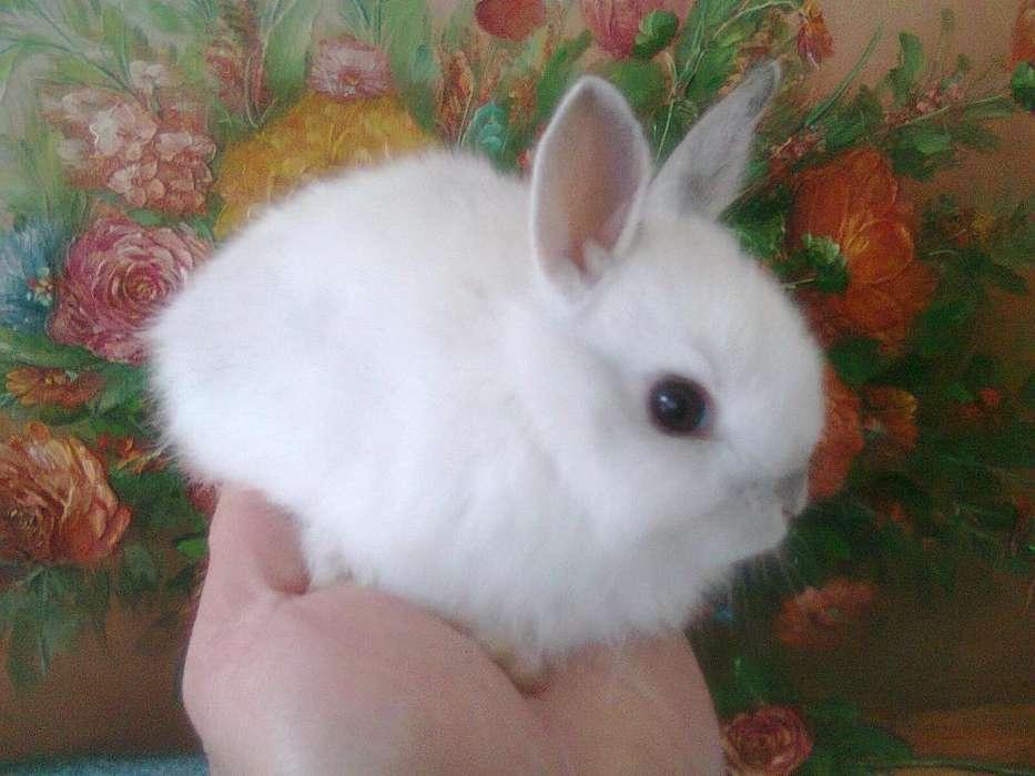 Conejos Enanos o Miniatura / Conejos Bonsái en Bogotá para cualquier parte de Colombia