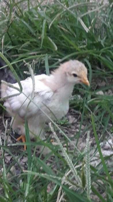 Vendo <strong>pollos</strong> Conchinchinos